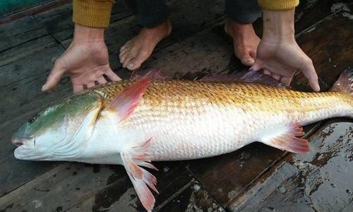 Những vụ bắt được cá sủ vàng quý hiếm được trả giá cả trăm triệu đồng - Ảnh 1
