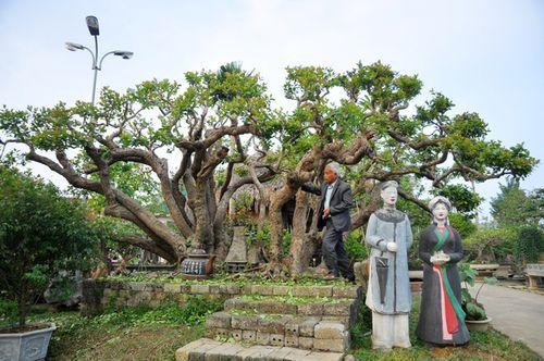 Những cây cảnh triệu đô của đại gia Việt - Ảnh 6