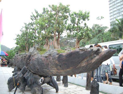 Những cây cảnh triệu đô của đại gia Việt - Ảnh 4