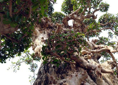 """Siêu cây """"Đại cổ trường sinh"""" nghìn năm tuổi vừa được chào giá 3 tỷ đồng - Ảnh 2"""