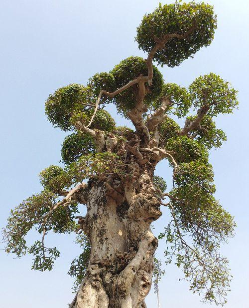 """Siêu cây """"Đại cổ trường sinh"""" nghìn năm tuổi vừa được chào giá 3 tỷ đồng - Ảnh 1"""