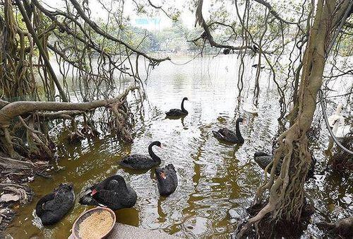 Đàn thiên nga ở hồ Gươm bị bắt lại trong đêm - Ảnh 1