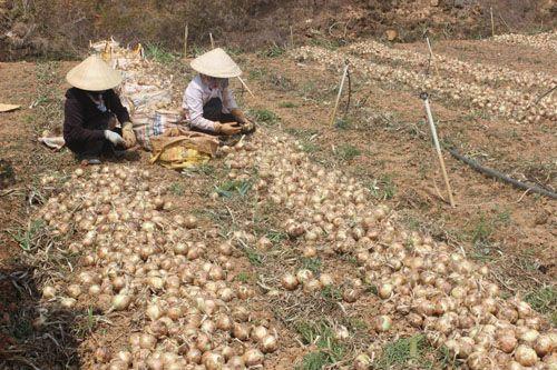 """Hành tây giá 3000/kg, khoai tây cũng chỉ 4000/kg, nông dân Đà Lạt """"khóc ròng"""" - Ảnh 1"""