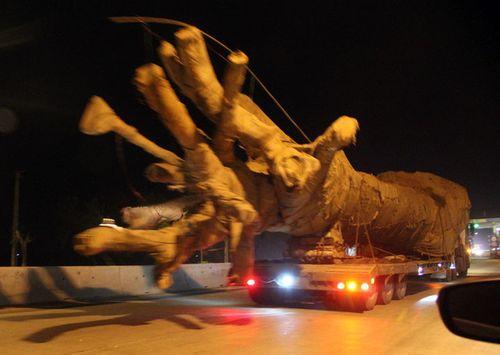 """Bắt 3 xe chở cây """"quái thú"""" khủng, phạt hơn 80 triệu đồng - Ảnh 1"""