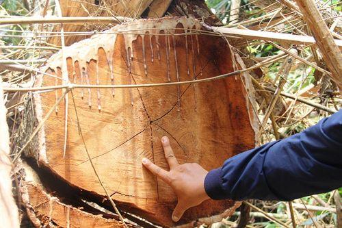 """Quảng Nam: Rừng lim cổ thụ hàng trăm năm tuổi bị """"xẻ thịt"""" kinh hoàng - Ảnh 1"""