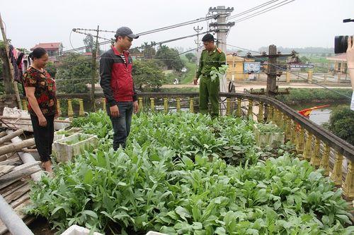 Hưng Yên: Phát hiện hơn 100 cây thuốc phiện trong nghĩa trang - Ảnh 1