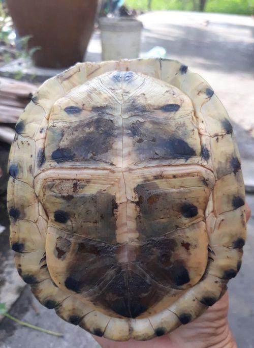 Sóc Trăng: Một thầy giáo bỏ tiền mua lại rùa hộp quý hiếm rồi phóng sinh - Ảnh 1
