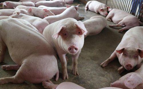 Giá lợn hơi hôm nay 10/8: Chạm mức 57.000 đồng/kg, dự báo còn tiếp tục tăng - Ảnh 1