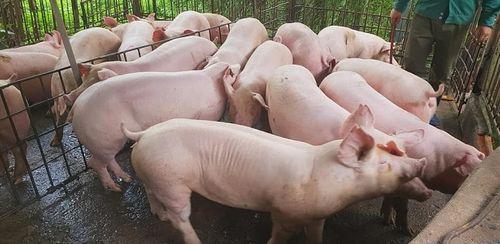 Giá lợn hơi hôm nay 14/8: Miền Bắc giảm tới 3.000 đồng/kg - Ảnh 1