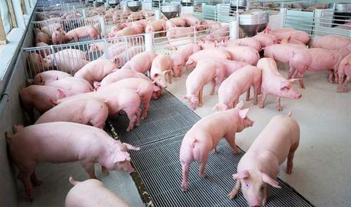 Giá lợn hơi hôm nay 16/8: Miền Bắc phổ biến trên 50.000 đồng/kg - Ảnh 1