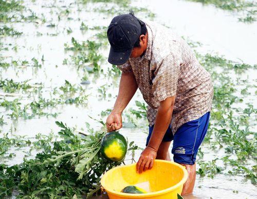 Gần 70 ha dưa hấu ngập trong biển nước, nông dân Cà Mau lo mất Tết - Ảnh 2