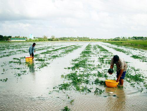 Gần 70 ha dưa hấu ngập trong biển nước, nông dân Cà Mau lo mất Tết - Ảnh 1