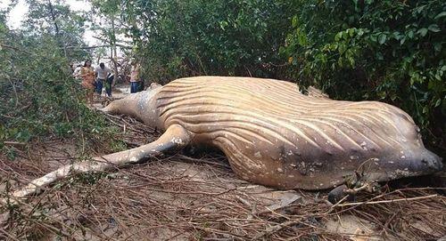 Nhà nghiên cứu đau đầu tìm nguyên nhân xác cá voi khổng lồ xuất hiện trong rừng rậm Brazil - Ảnh 1