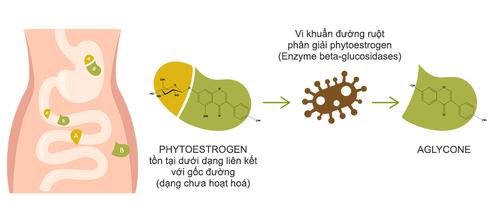 Phytoestrogen dạng Aglycone - giải pháp mới đánh bật triệu chứng mãn kinh ở phụ nữ trung niên - Ảnh 3