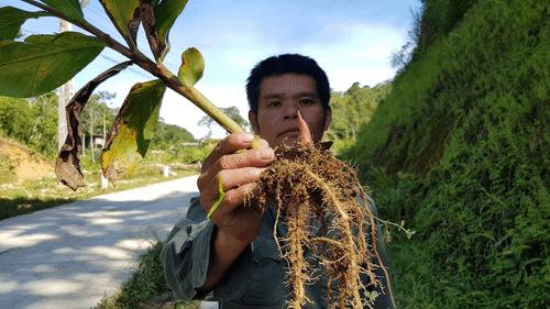 Xôn xao cây ngải tiên giúp thoát viêm đại tràng - Ảnh 1