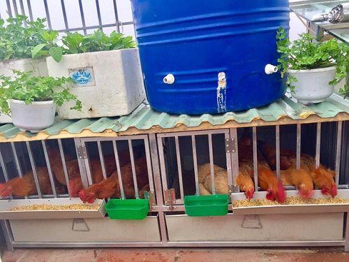 Chi 70 triệu đồng, ông bố Hà Nội cải tạo sân thượng để nuôi gà, trồng rau - Ảnh 5