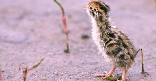 Đem ổ trứng từ rừng về cho gà mái ấp, người nông dân bàng hoàng khi thấy kết quả - Ảnh 1