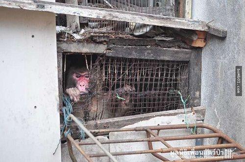Giải cứu chú khỉ bị kẹt 25 năm trong ngôi nhà bỏ hoang - Ảnh 1