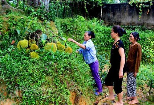 Kỳ lạ cây mít bị chặt tận gốc nhưng vẫn ra chi chít hàng chục quả - Ảnh 3