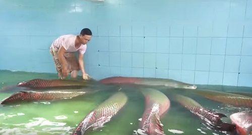 Cận cảnh đàn cá hải tượng trị giá hàng tỷ đồng của đại gia ở Tây Ninh - Ảnh 3