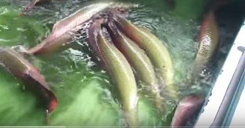 Cận cảnh đàn cá hải tượng trị giá hàng tỷ đồng của đại gia ở Tây Ninh - Ảnh 4