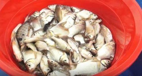 Cận cảnh đàn cá hải tượng trị giá hàng tỷ đồng của đại gia ở Tây Ninh - Ảnh 2