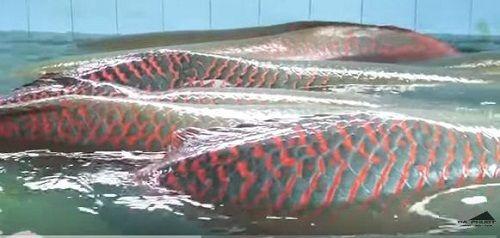 Cận cảnh đàn cá hải tượng trị giá hàng tỷ đồng của đại gia ở Tây Ninh - Ảnh 6