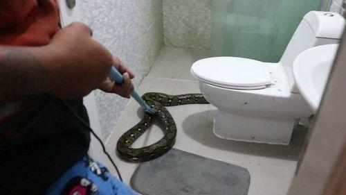 Tá hỏa vì thấy trăn 3m trong nhà vệ sinh - Ảnh 1