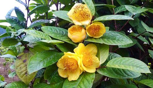 Ba loại thảo dược cực quý tại Việt Nam - Ảnh 2