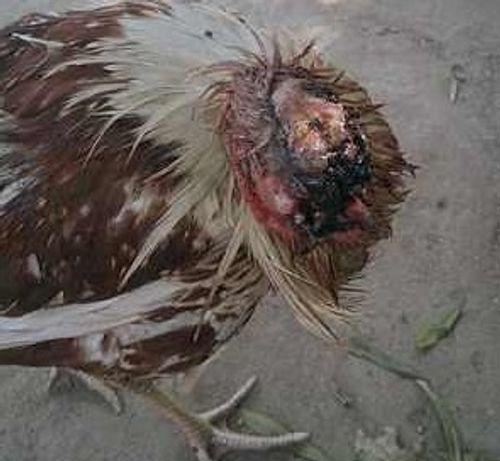 Xem 2 con gà bị chặt đầu vẫn sống thêm đến 1,5 năm - Ảnh 1