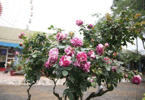 Điểm vui chơi 8/3: Ngắm trăm hoa đua sắc trước ngày khai mạc Lễ hội hoa hồng Bulgaria - Ảnh 3