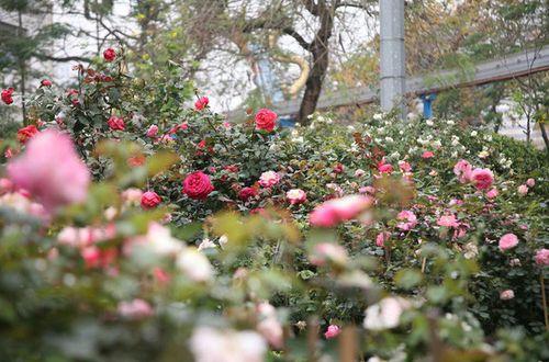 Điểm vui chơi 8/3: Ngắm trăm hoa đua sắc trước ngày khai mạc Lễ hội hoa hồng Bulgaria - Ảnh 2
