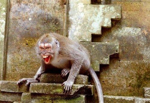 Khỉ quấy phá ở Hà Nội: Bị khỉ cắn có thể mắc bệnh dại tử vong - Ảnh 3