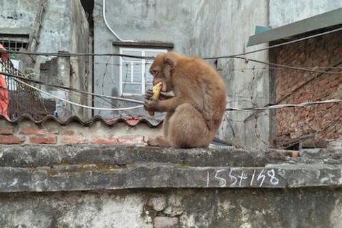 Khỉ quấy phá ở Hà Nội: Bị khỉ cắn có thể mắc bệnh dại tử vong - Ảnh 1