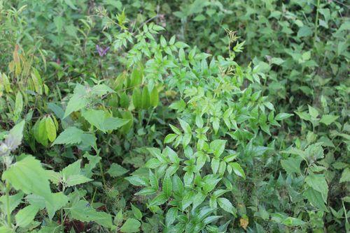 Chữa dạ dày hiệu quả bằng loại cây có sẵn ở núi rừng - Ảnh 1
