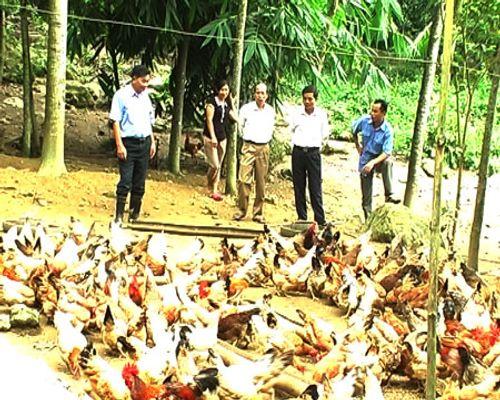 Cả làng thành thành tỷ phú nhờ nuôi gà ta thả vườn - Ảnh 2