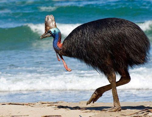Cận cảnh loài chim nguy hiểm nhất thế giới được ghi trong kỷ lục Guiness  - Ảnh 2