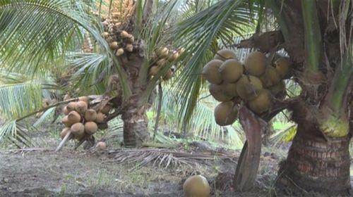 Thành triệu phú, thu 300 triệu mỗi năm nhờ trồng dừa Mã Lai - Ảnh 1