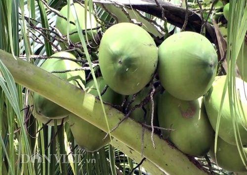 Thành triệu phú, thu 300 triệu mỗi năm nhờ trồng dừa Mã Lai - Ảnh 2
