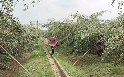 Nông dân kiếm tiền tỷ nhờ trồng cây táo - Ảnh 3