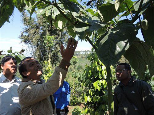 1 triệu đồng/kg cà chua thân gỗ được trồng nhiều ở Lâm Đồng - Ảnh 1