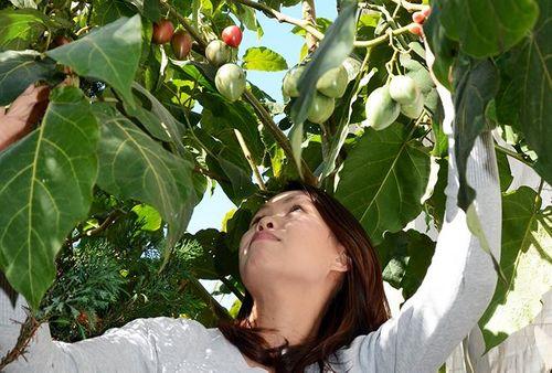 1 triệu đồng/kg cà chua thân gỗ được trồng nhiều ở Lâm Đồng - Ảnh 3