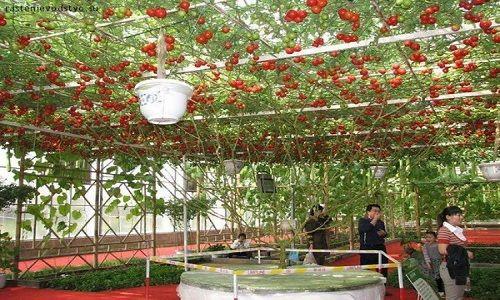 """Cây cà chua bạch tuộc """"đẻ"""" 14.000 quả mỗi năm - Ảnh 3"""