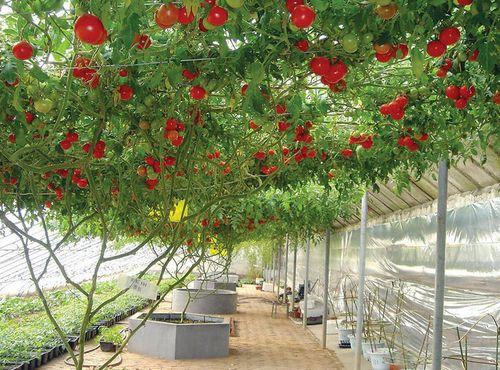"""Cây cà chua bạch tuộc """"đẻ"""" 14.000 quả mỗi năm - Ảnh 1"""