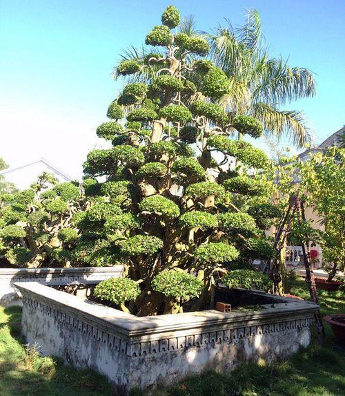 Chiêm ngưỡng những cây cảnh có giá đắt hơn cả căn biệt thự - Ảnh 1