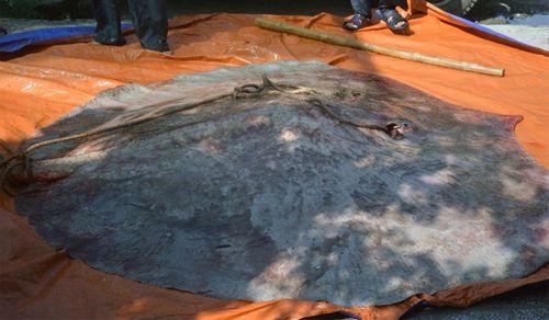 Kinh ngạc bắt được cá đuối 'khủng' hơn 220kg  - Ảnh 1