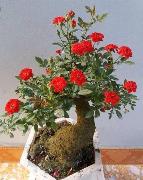 """Hoa hồng bonsai giá 1 triệu đồng/cây vẫn """"cháy hàng"""", không có cây để bán - Ảnh 2"""