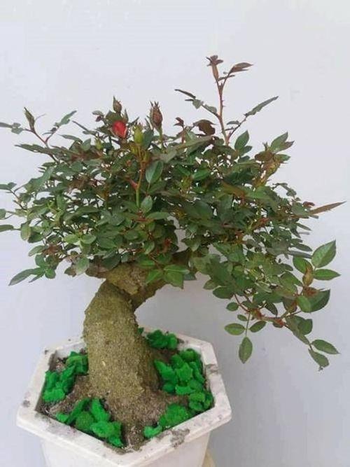 """Hoa hồng bonsai giá 1 triệu đồng/cây vẫn """"cháy hàng"""", không có cây để bán - Ảnh 4"""