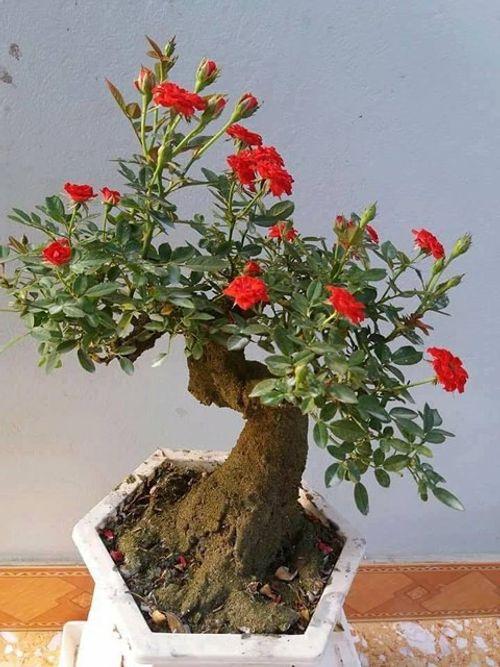 """Hoa hồng bonsai giá 1 triệu đồng/cây vẫn """"cháy hàng"""", không có cây để bán - Ảnh 5"""