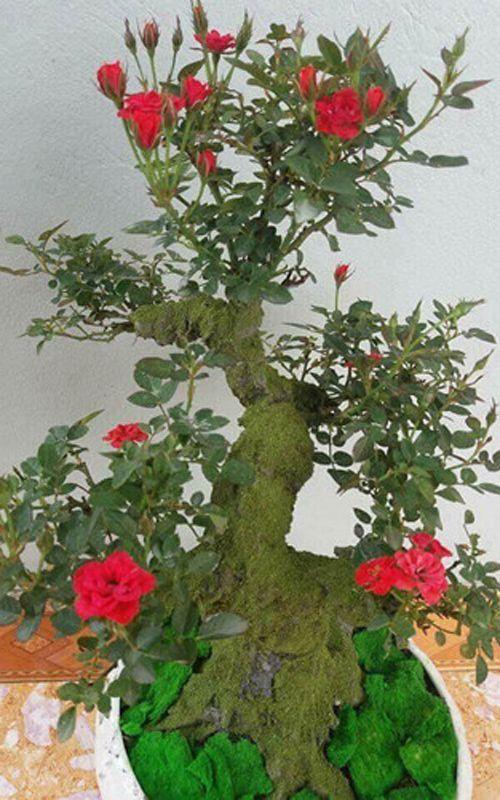 """Hoa hồng bonsai giá 1 triệu đồng/cây vẫn """"cháy hàng"""", không có cây để bán - Ảnh 6"""